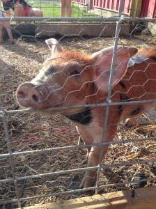 One of the Piggys